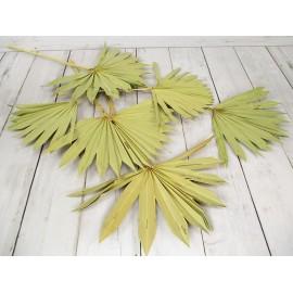 Susz egzotyczny naturalny liść Palmy 50 cm